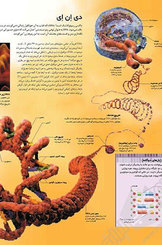 فرهنگ نامه بدن انسان 28